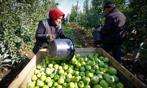 Сезонные сборщики урожая